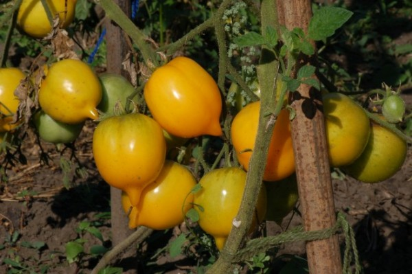 "Tomate ""Anna Herrmann"""