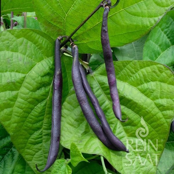 Buschbohne - Purple Teepee - Bio