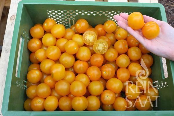 Tomate - RS-To-11.18 (Peela) - Bio