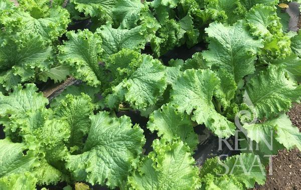 Asia-Salat - Green Wave - Bio