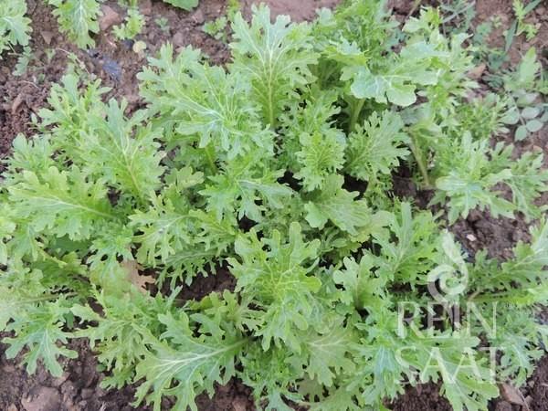 Asia-Salat Wasabino Bio