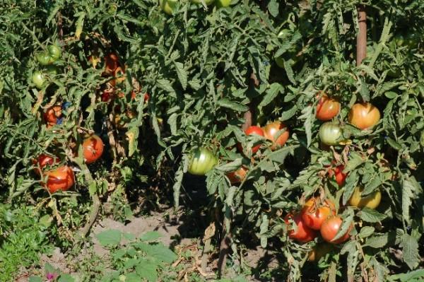 "Tomate ""Paprikaförmige"", Fleischtomate, Stabtomate"
