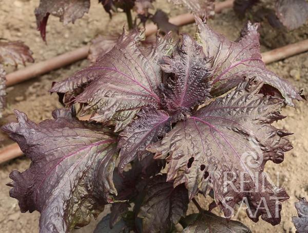 Perilla rot, Sisho - Perilla frutescens - Bio